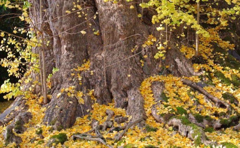 氷見の秋を堪能できる場所【上日寺のイチョウ】