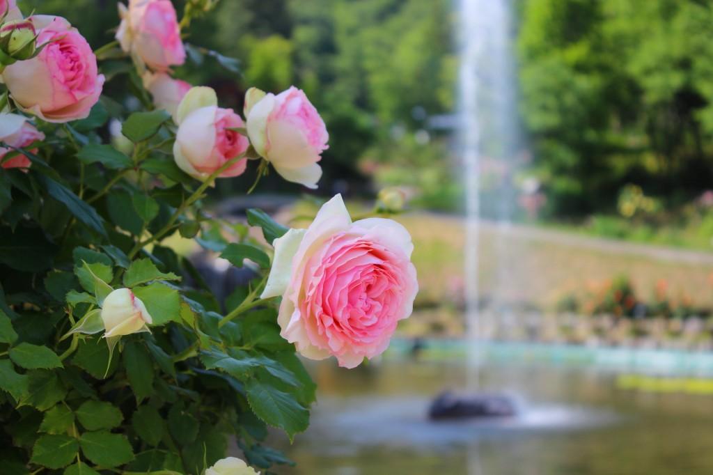 これからの季節オススメ!バラが咲き誇る氷見あいやまガーデン